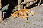 Perro tomando el sol, Ipiales, Colombia, 2015-07-21, DD 06.JPG