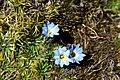 Peru - Lares Trek 028 - alpine flowers (7584280704).jpg