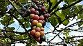Pesiticide Grapes.jpg