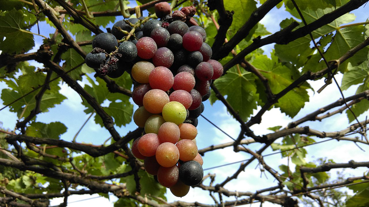 Pesiticide Grapes.jpg