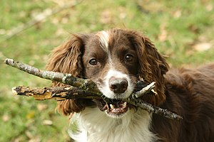 English: Pet dog fetching sticks in Wales, Uni...
