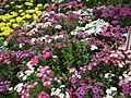 Phlox from Lalbagh flower show Aug 2013 8407.JPG