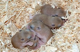 Phodopus roborovskii 8 days old 02.jpg