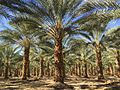 Phoenix Dactylifera Date Palm Fields South Coast Wholesale.jpg