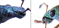 Phyllobius-and-Polydrusus.png