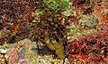 Phyllophorid Sea Cucumber (Neothyonidium magnum) (8477759827).jpg