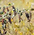 Phytolacca americana Sand Dunes Park 2.jpg