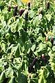 Phytolacca polyandra Prague 2012 3.jpg