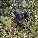 Piapiac (Ptilostomus afer) sub-adult (l) and immature (r).jpg