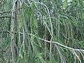 Picea abies f virgata Käärmekuusi Ormgran C DSC02586.JPG