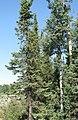 Picea mariana Populus tremuloides Yukon.jpg