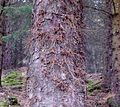 Picea sitchenensis (Sitka Spruce) and epicormic branching.JPG