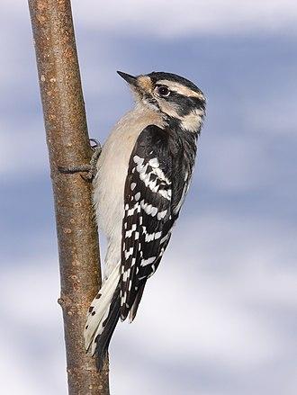 Downy woodpecker - Female, Cap Tourmente National Wildlife Area, Quebec, Canada