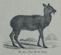 Picture Natural History - No 65 - The Musk Deer.png