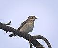 Pied flycatcher (36386894573).jpg