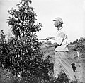 PikiWiki Israel 1607 Kibutz Gan-Shmuel sk9- 141 גן-שמואל-במטע האבוקדו 1942.jpg