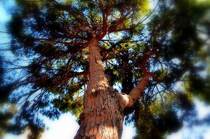 העץ בחומססה