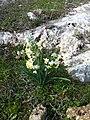 PikiWiki Israel 46256 Narcissus tazetta.JPG
