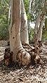 PikiWiki Israel 54156 eucalyptus grove - kfar haim.jpg