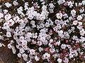 Pimelea brachyphylla 03.jpg