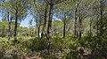 Pine forest in Saint Lucie Island.jpg