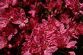 Pink-azalea-spring - West Virginia - ForestWander.jpg