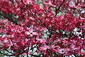 Pink-dogwood-tree-spring-bloom - West Virginia - ForestWander.jpg