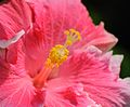 Pink Hibiscus (6870648158).jpg