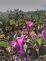 Pink flower near beach.jpg