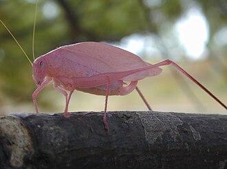 Erythrism - Image: Pink katydid Ontario