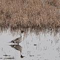 Pintail (Anas acuta) (7134578771).jpg