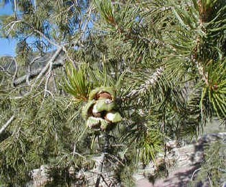 Pinus cembroides - Detail of foliage, cones