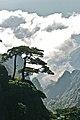 Pinus hwangshanensis, Huangshan 1.jpg