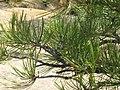 Pinus ponderosa brachyptera foliage.jpg