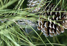 Pinus rigida cone.jpg