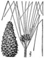Pinus taeda drawing.png