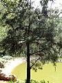 Pinus wangii - Kunming Botanical Garden - DSC02729.jpg