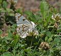 Pioneer or Caper White (Anaphaeis aurota) I IMG 6406.jpg