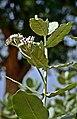 PkCalotropis Procera1.jpg