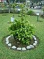 Planta de Chacruna en el Jardín Botánico de Lima.jpg