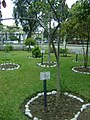 Planta de Tahuari en el Jardín Botánico de Lima.jpg