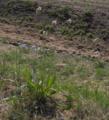 Plantago lanceolata01.png