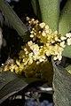Plants Pomatocalpa spicata IMG 8294 06.jpg