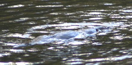 The platypus is very difficult to spot even on the surface of a river. Platipus-on-the-surface.jpg
