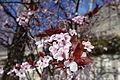Plum blossom @ Paris (24925607174).jpg