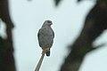 Plumbeous Hawk 2015-06-09 (7) (40326994521).jpg