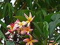 Plumeria alba 0006.jpg