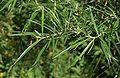 Pod lipskiem liście krzewu do ident. 17.07.09 pl5. jpg.jpg