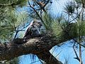 Podargus strigoides -Canberra, Australia -nest-8 (1).jpg