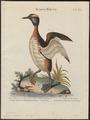 Podiceps auritus - 1700-1880 - Print - Iconographia Zoologica - Special Collections University of Amsterdam - UBA01 IZ17800069.tif